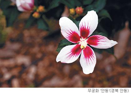 [고규홍의 식물이야기] 여름을 노래하는 무궁화 기사의 사진