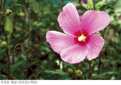 [고규홍의 식물 이야기] 나라꽃 무궁화가 겪은 수난 기사의 사진