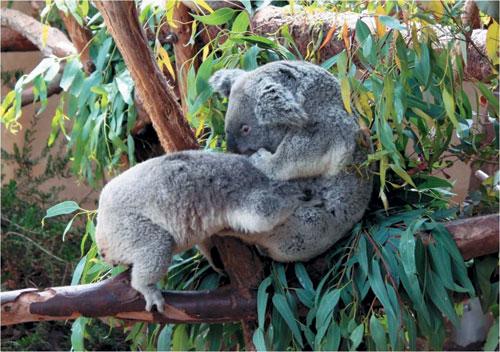 [배진선의 동물 이야기] 코알라와 유칼립투스 기사의 사진