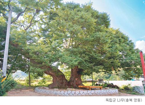 [고규홍의 식물 이야기] '독립군 나무'라는 느티나무 기사의 사진