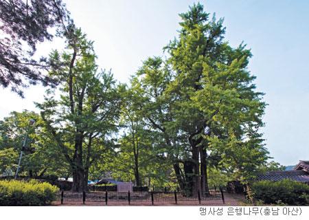 [고규홍의 식물이야기] 재상이 나무를 심은 뜻은 기사의 사진