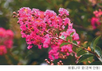 [고규홍의 식물 이야기] 가을맞이 나선 배롱나무 기사의 사진