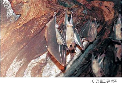[배진선의 동물 이야기] 박쥐에 대한 오해 기사의 사진