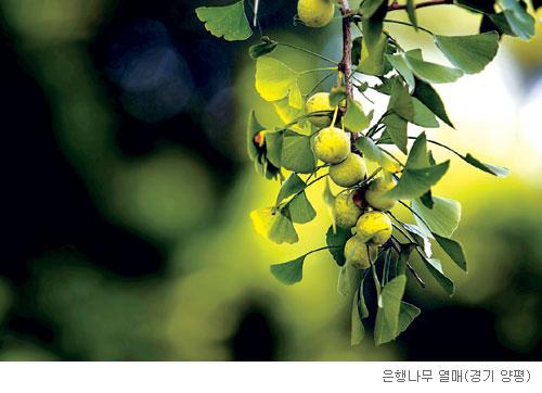 [고규홍의 식물이야기] 고약한 냄새로 살아남은 은행나무 기사의 사진
