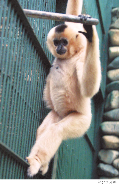 [배진선의 동물 이야기] 기번, 공중곡예의 달인 기사의 사진
