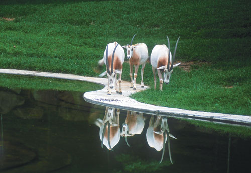 [배진선의 동물 이야기] 유니콘 신화의 모델 흰오릭스 기사의 사진