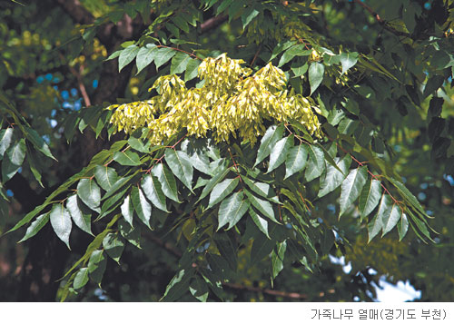 [고규홍의 식물 이야기] 억울하게 푸대접 받는 가죽나무 기사의 사진