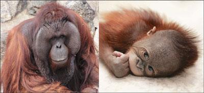[배진선의 동물 이야기] 오랑우탄의 자기관리 기사의 사진