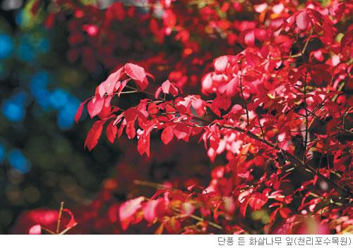 [고규홍의 식물 이야기] 화살나무의 장한 단풍 빛깔 기사의 사진