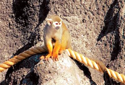 [배진선의 동물 이야기] 다람쥐원숭이의 과시법 기사의 사진