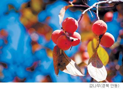 [고규홍의 식물 이야기] 감나무의 가을 메시지 기사의 사진