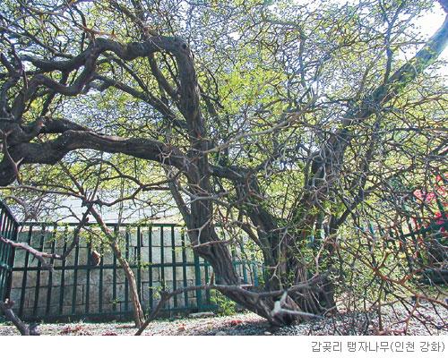 [고규홍의 식물이야기] 목숨 걸고 나라 지킨 탱자나무 기사의 사진
