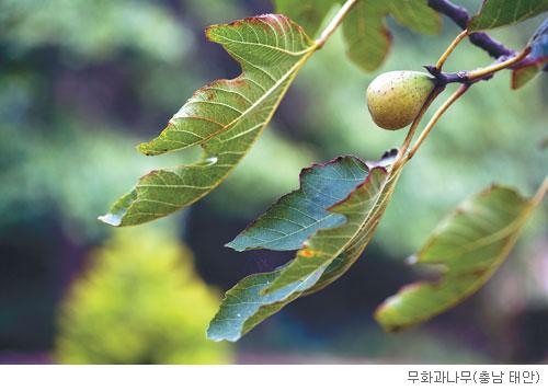 [고규홍의 식물 이야기] 무화과나무 꽃의 비밀 기사의 사진