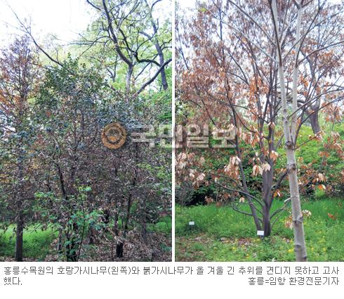 서울서 자라던 남방계 수종 凍害 입어… 지난 겨울 추위 탓 말라 죽어 기사의 사진