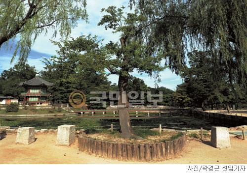 [고궁의 사계] 유홍준이 걱정한 시무나무 기사의 사진