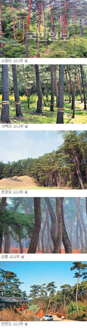 솔향 그윽한 소나무가 그립다… 소나무 숲 5선 기사의 사진