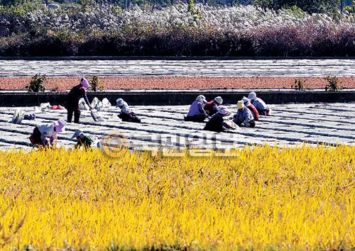[포토 카페] 마늘 심기 기사의 사진