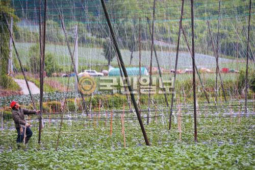 [포토 카페] 감자밭 옆 콩 줄기 기사의 사진