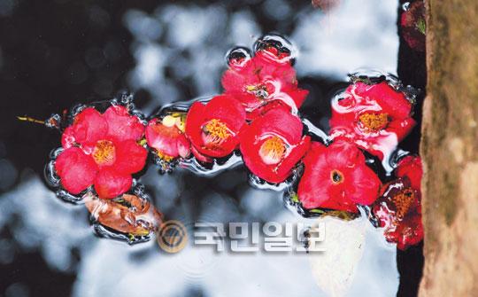 [포토 카페] 다산초당의 동백꽃 기사의 사진