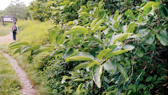 [그 숲길 다시 가보니-임항] 금대봉 갈매나무에는 백석의 혼이… 기사의 사진
