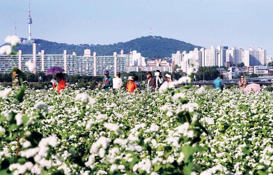 [포토 카페] 서울에도 메밀꽃 필 무렵 기사의 사진