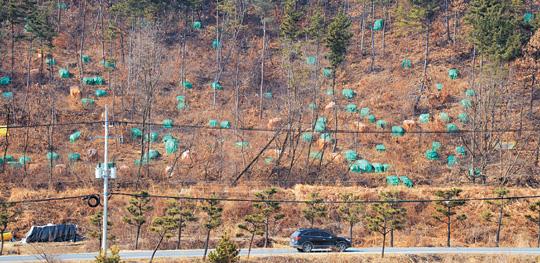 '소나무 에이즈' 한반도 급속 잠식… 한국 소나무, 3년 내 멸종 위기론 기사의 사진