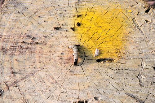 [소나무 재선충의 공습-르포] 잔해 처리 엉터리… 탈출한 재선충, 주변 쑥대밭 잠식 기사의 사진