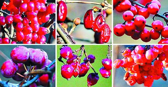 [그 숲길 다시 가보니-임항] 국립수목원의 붉은 열매들 기사의 사진