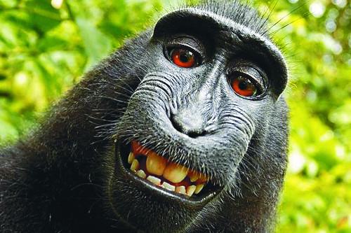 야생 원숭이의 셀카 저작권 25%, 원숭이 몫 기사의 사진