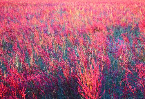 [색과 삶] 칠면초 기사의 사진