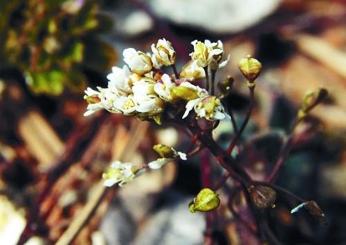 [포토] 활짝 웃는 냉이꽃… 봄이 오는 남녘 기사의 사진