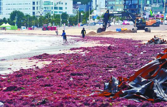 [포토] 송정해수욕장 백사장 뒤덮은 해초 기사의 사진