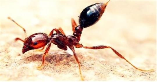 붉은불개미 독성 '꿀벌' 수준… '살인개미' 아니다 기사의 사진