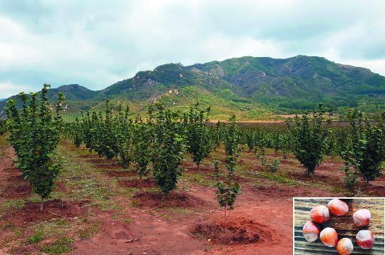 [북녘땅 살리는 생명나무를 보내자] 유실수, 北 산림 살리고 주민엔 열매 부수입 '일석이조' 기사의 사진