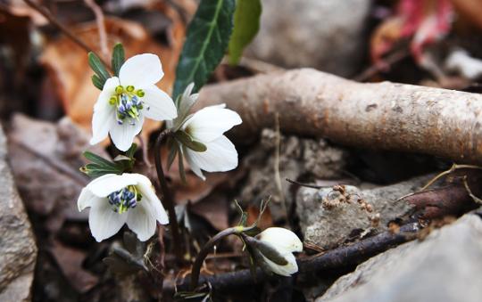 [포토] 토종 봄의 전령 '변산바람꽃' 개화 기사의 사진