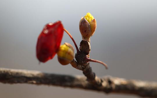 [포토] '수줍은 봄' 꽃망울 터트린 산수유 기사의 사진