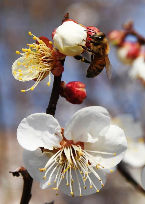 [포토] 봄이 반가운 꿀벌 기사의 사진