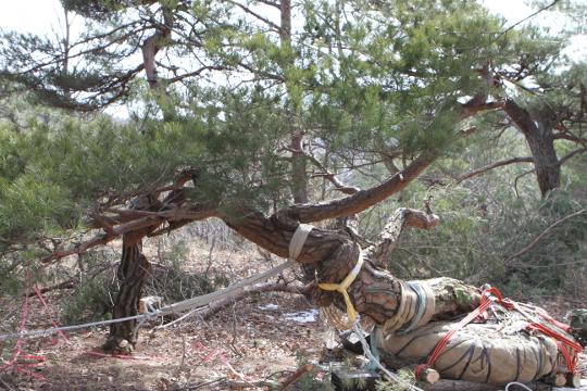 [포토] 방치된 불법 채취 명품 소나무… 50대 구속 기사의 사진